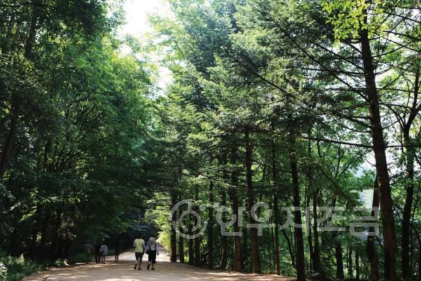 히_월정사전나무숲 (2).jpg
