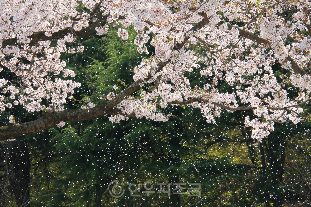 히_보문단지 벚꽃.jpg